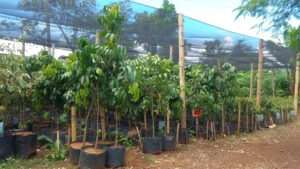 Binahon Agroforestry Seedling and nursery  (4)
