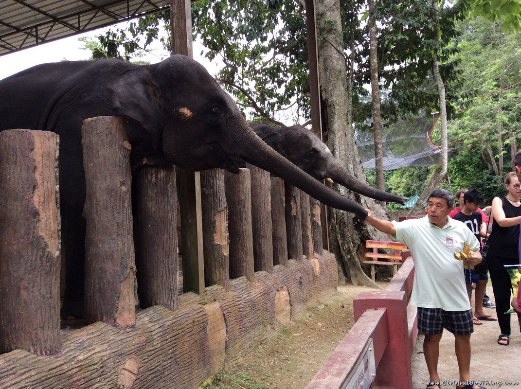 national-elephant-conservation-centre-pahang-elephant-feeding-1