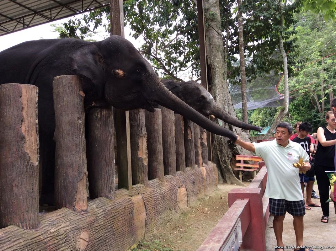 national-elephant-conservation-centre-pahang-elephant-feeding-1