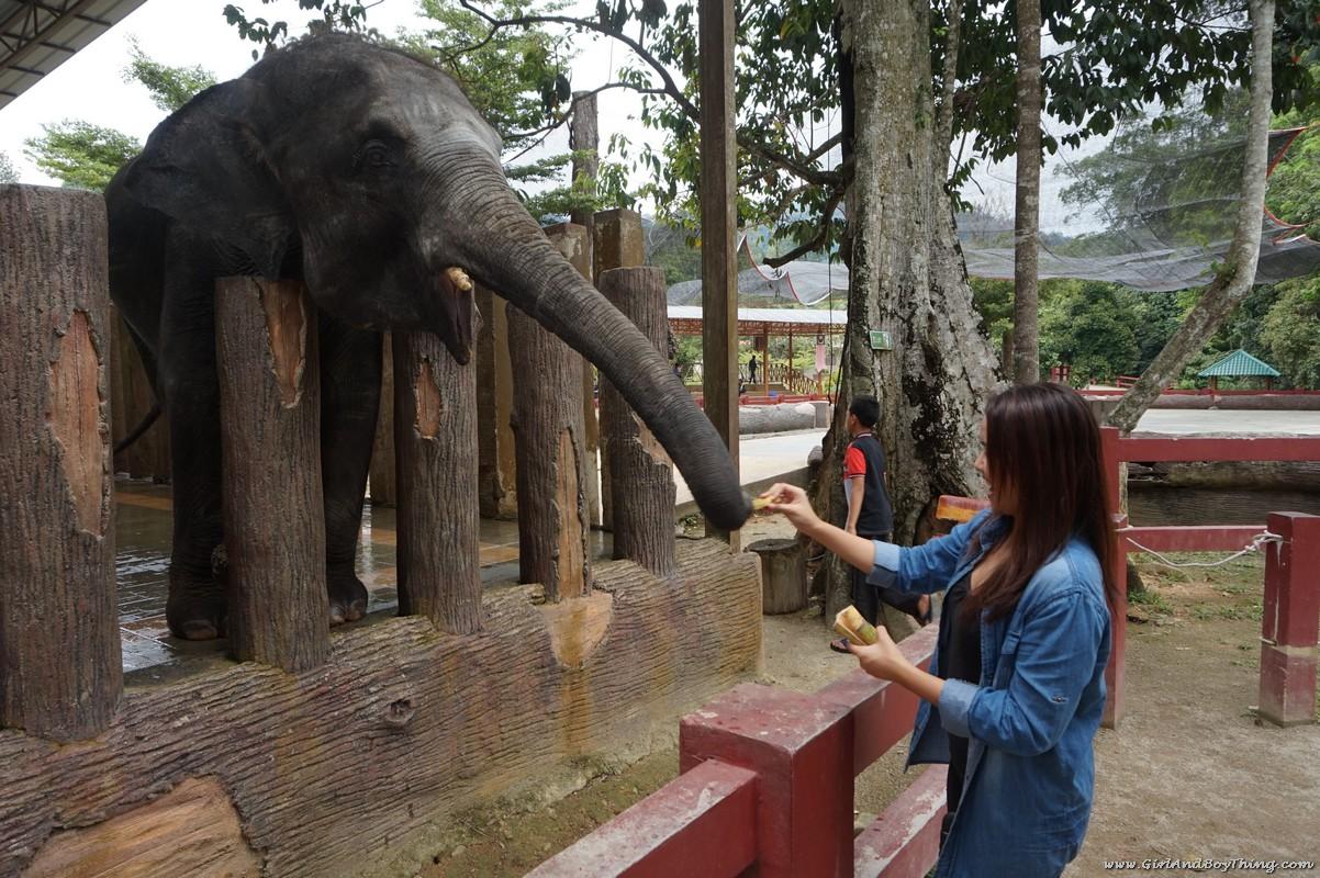 national-elephant-conservation-centre-pahang-elephant-feeding-2