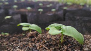 ABF seedlings