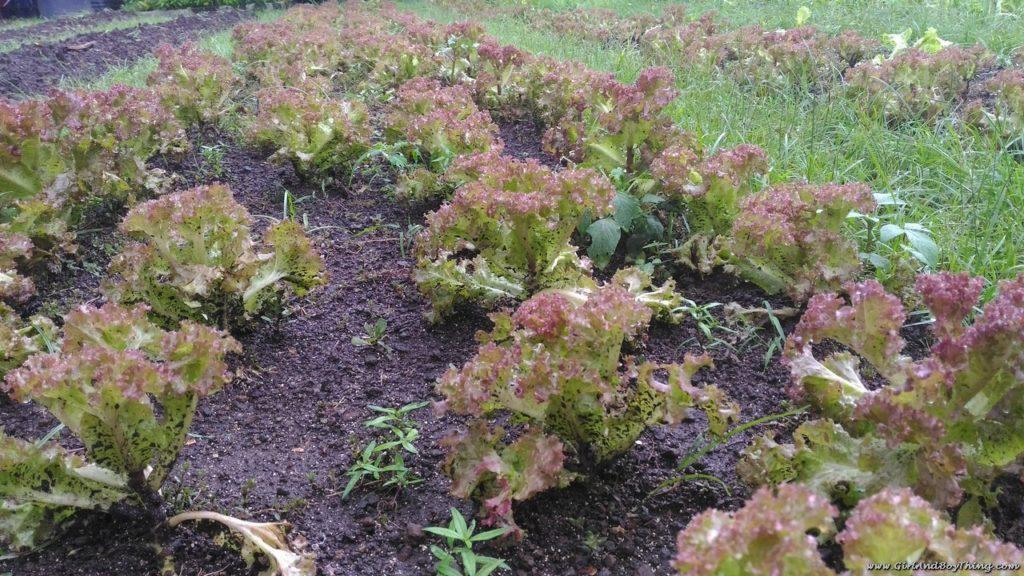 ato-belens-farm-lettuce