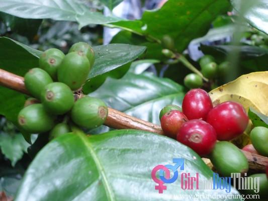 Coffee Arabica: Sagada's Best Organic Coffee