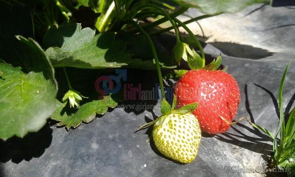 My Strawberry Picking Experience At Strawberry Farm La Trinidad Benguet